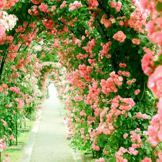 前橋市の花『薔薇』